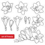 Ensemble de vecteur avec le groupe de fleur de freesia d'ensemble et bourgeon fleuri dans le noir d'isolement sur le fond blanc U illustration de vecteur