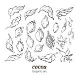 Ensemble de vecteur de branche de cacaoyer illustration stock