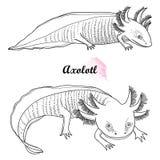 Ensemble de vecteur d'axolotl mexicain d'ensemble ou de poissons de marche dans noir d'isolement sur le fond blanc Amphibie anima illustration libre de droits