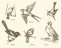 Ensemble de vecteur d'oiseaux : Hirondelle, moineau, pie, pigeon, canari, T illustration de vecteur