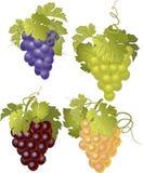 Ensemble de vecteur de groupes de raisins Image libre de droits
