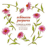 Ensemble de vecteur de purpurea d'Echinacea illustration de vecteur