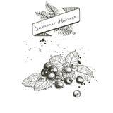 Ensemble de vecteur de récolte d'été décoré de la bannière, et taches Myrtille ou canneberge ou mûre et feuilles en bon état Image stock