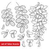 Ensemble de vecteur groupe d'ensemble d'acacia faux blanc ou de sauterelle noire ou de Robinia de fleur, bourgeon et feuilles dan Photographie stock