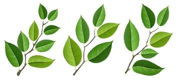 Ensemble différent de branche d'arbre avec des feuilles de vert, d'isolement sur le blanc Images libres de droits