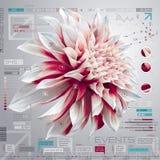 Ensemble infographic de dahlia Photos libres de droits