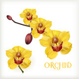 Ensemble jaune d'orchidée Photo stock
