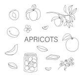 Ensemble noir et blanc de vecteur d'abricots tir?s par la main mignons, fleurs, pot de confiture illustration stock
