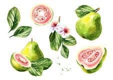 Ensemble rose de composition en goyaves Illustration tirée par la main d'aquarelle, d'isolement sur le fond blanc illustration libre de droits