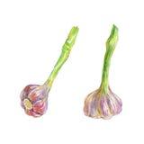 Ensemble tiré par la main d'ail sur le fond blanc Légumes frais d'isolement par aquarelle Image stock