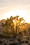 Ensembles de Sun par des branches de Joshua Tree Photos libres de droits
