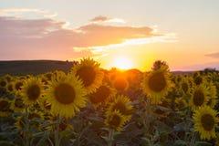 Ensembles de Sun sur des tournesols Image stock
