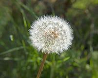 Ensemencement de fleur de pissenlit photographie stock