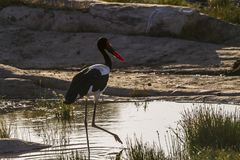 Ensille la cigüeña cargada en cuenta en el parque nacional de Kruger, Suráfrica fotos de archivo