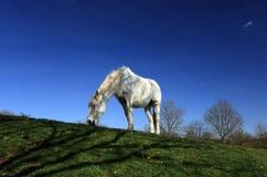 Enslig häst i fält med bakgrund för blå himmel Arkivbilder