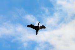 Enslig kormoranPhalacrocoraxcarbo som flyger upp med vingar, fördelade mot den blåa himlen, och vit fördunklar Arkivbild