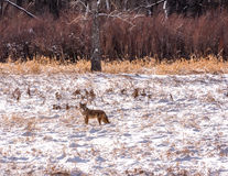Enslig prärievarg i snöig fält Fotografering för Bildbyråer