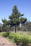 enslig tree Royaltyfri Fotografi