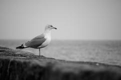 Ensligt anseende för Seagull (sillfiskmås) på en stenhamnvägg som ut ser till havet i svartvitt Royaltyfri Fotografi