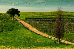 Ensligt cypressträd med grus rad i morgondimma, Tuscany, Italien Vråla mellan fälten Blommaänglandskap i Tuscany royaltyfria foton