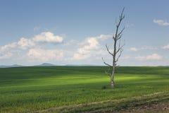 Ensligt kargt träd i ett grönt vetefält Royaltyfri Fotografi