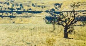 Ensligt träd i förtorkat sommarlandskap Royaltyfria Foton
