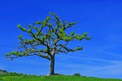 Ensligt träd med mörker - blå himmel, Tuscany, Italien fotografering för bildbyråer