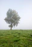 Ensligt träd på en dimmig morgon Royaltyfri Foto