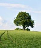 Ensligt träd på överkanten av fältet i försommar Arkivbild