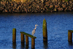 Ensling Craggy seende Heron på Astoria Royaltyfri Bild