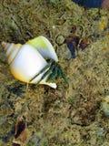 ensling för 2 krabba arkivfoton