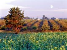 Enslingen sörjer i den blommande trädgården med den tidiga månen på bakgrunden royaltyfria bilder