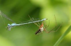 Ensnackad Orb-vävare spindelTetragnatha sp som äter en damselfly som har fångats i dess rengöringsduk royaltyfri foto