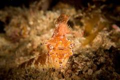 'Enstång' Nudibranch - Ceratosoma Tenue Arkivbild