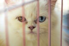 Ensynad katt med olik ögonfärg i slut UPP royaltyfria foton