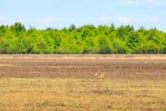 Entailed doe och hon lismar går över ett fält i skallig knoppdjurlivfristad i skallig knopp Arkivfoto