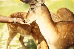 Entailed hjort lismar anseende i en äng Royaltyfri Bild