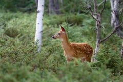 Entailed hjort lismar i skogen Royaltyfria Foton