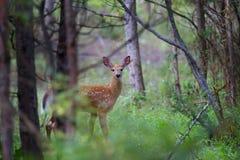 Entailed hjort lismar i skogen Royaltyfri Bild