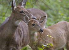 Entailed hjort lismar och doen i skogen Royaltyfri Foto