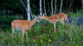 Entailed hjort lismar och doen i skogen Arkivfoto