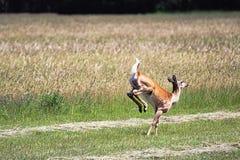 Entailed hjort som bort kör i ett fält royaltyfria bilder