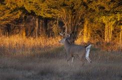 Entailed hjort sparkar bakut i ljuset för den tidiga aftonen under brunsten Fotografering för Bildbyråer