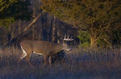 Entailed hjort sparkar bakut i ljuset för den tidiga aftonen under brunsten Arkivfoto