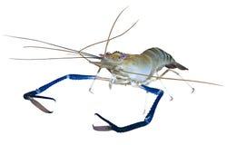 Entalhe gigante do camarão de rio Imagem de Stock Royalty Free
