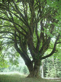 Entangled Tree Stock Photos