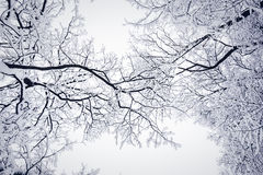 Entangled trees  in winter. A beautiful entanglement of  tree branches  in winter Royalty Free Stock Image