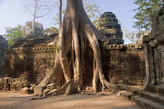 Entangling Roots walls of the temple of Ta Prohm Royalty Free Stock Photography