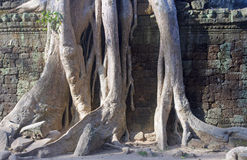 Entangling Roots walls of the temple of Ta Prohm Royalty Free Stock Images