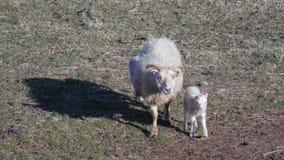 Entbinden Sie Schafe und gerade geborenes Lamm stockfoto